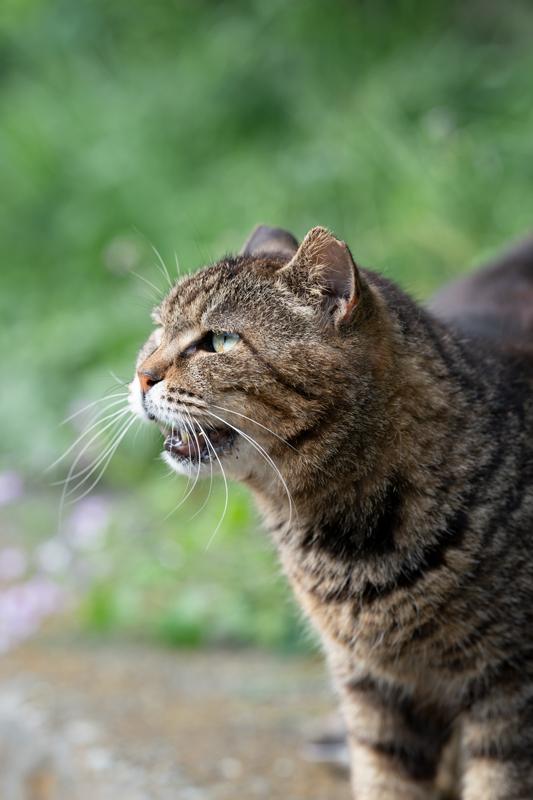 観音崎の猫